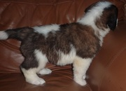 Heart & Knees Tested Saint Bernard Puppies for Sale
