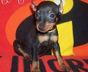 devoted  Miniature Pinscher Puppies